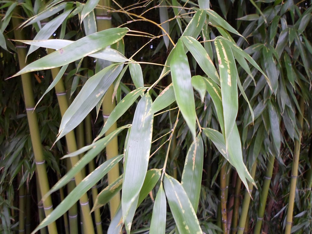 feuilles de bambou bamboo foliage leaf van den hende flickr. Black Bedroom Furniture Sets. Home Design Ideas