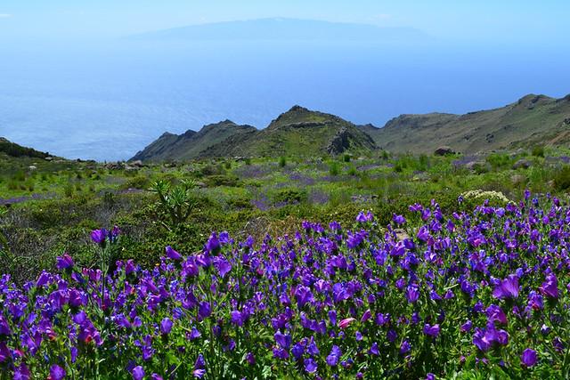 Spring flowers, Teno, Tenerife