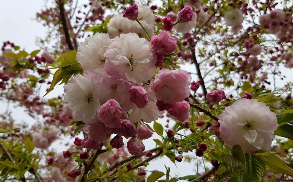 粉紅粉白櫻花交錯