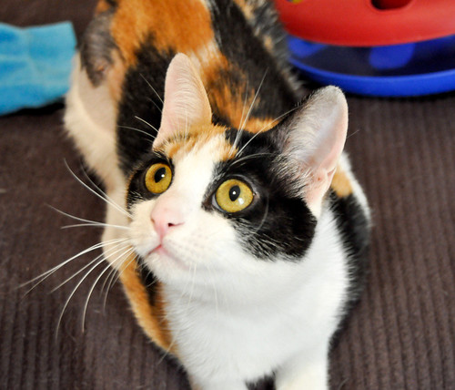 Ishtar, gatita tricolor Calicó súper cariñosa y juguetona esterilizada, nacida en Julio´17, en adopción. Valencia. 40812938851_d8b9b31f70