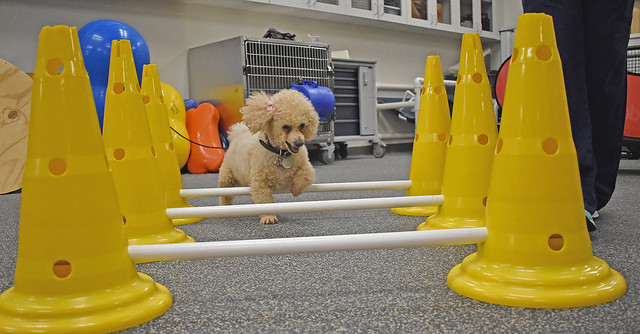 Poochie, an 8-year-old poodle, walks through an obstacle course