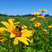 Bumble bee on Silphium