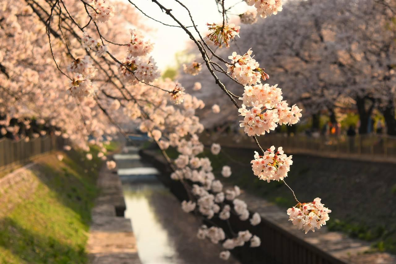 お花見・善福寺川の桜