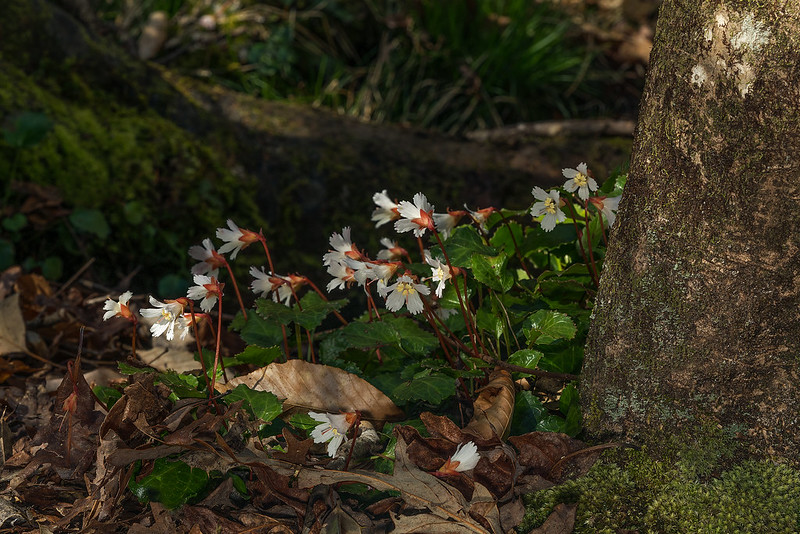 Group of Oconee Bells
