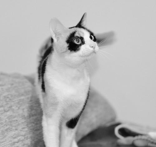 Ishtar, gatita tricolor Calicó súper cariñosa y juguetona esterilizada, nacida en Julio´17, en adopción. Valencia. 40812942071_f1d4234abf