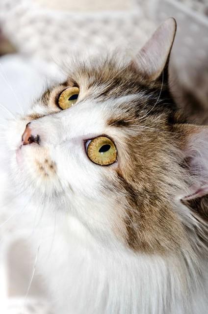 Marlène, gatita cruce Angora blanquiparda dulce y juguetona esterilizada nacida en Julio´17, en adopción. Valencia. ADOPTADA. 26146317167_0f75d63343_z