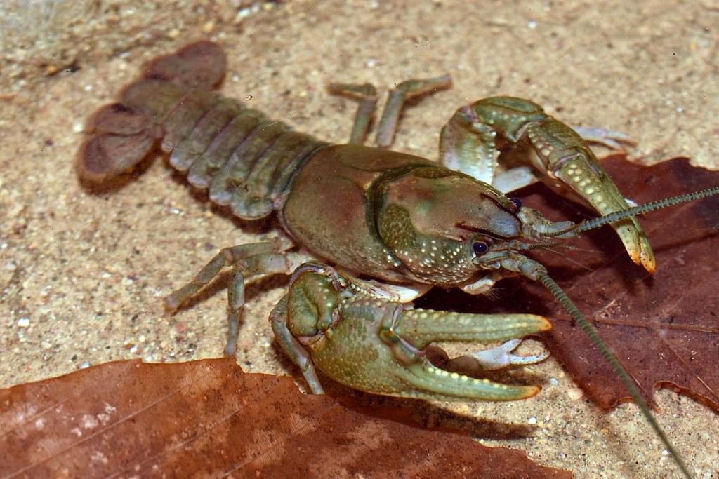 Appalachian Brook Crayfish