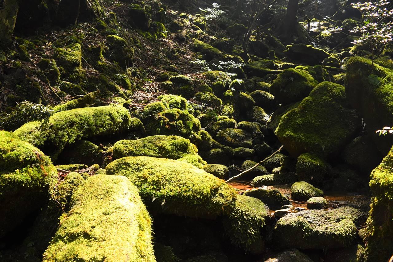 屋久島の苔むす森