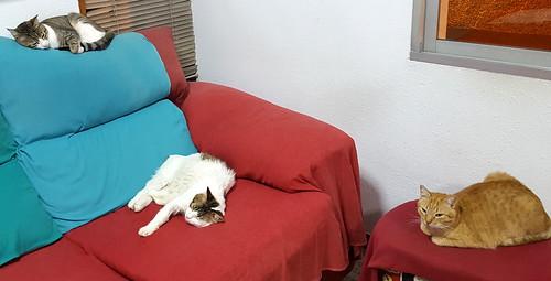 Aquiles, gato cruce Van Turco noble y buenísimo esterilizado, nacido en Enero´16, en adopción. Valencia. ADOPTADO. 41451533042_46d92fd9c0