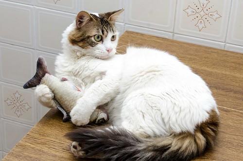 Aquiles, gato cruce Van Turco noble y buenísimo esterilizado, nacido en Enero´16, en adopción. Valencia. ADOPTADO. 41451535392_d7bebaf99e