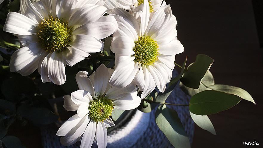 flor margarita para homeopatía
