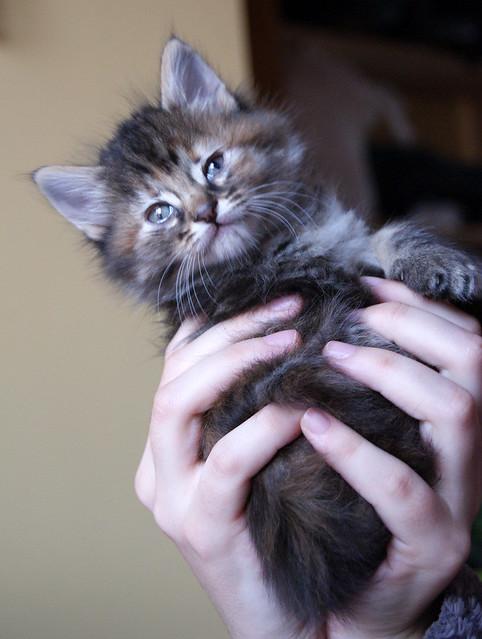 Suhaila, gatita parda con toques canela pelo largo guapísima, nacida en Febrero´18, en adopción. Valencia. ADOPTADA. 41016927121_743d6404cd_z