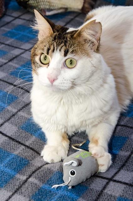 Aquiles, gato cruce Van Turco noble y buenísimo esterilizado, nacido en Enero´16, en adopción. Valencia. ADOPTADO. 41451538352_baa55ff166_z