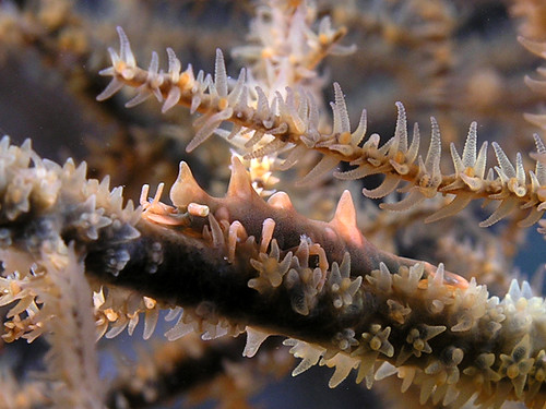 Gorgonian Shrimp - Master of Disguise | by Nick Hobgood