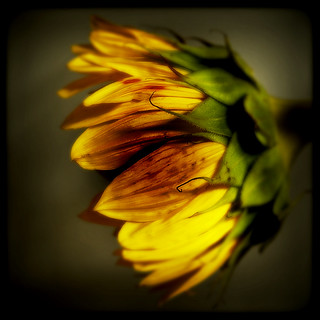 Sunflower through the Viewfinder | by Kaddy