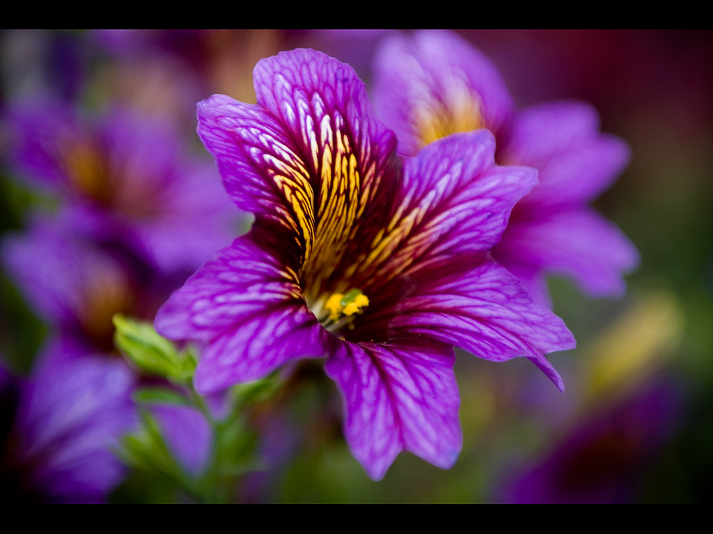 vibrant flower 1600x1200 wallpaper shot at edwards gardens u2026 flickr