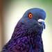 Pigeon Face8