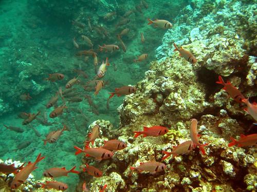 Big eye squirrel fish a school of u 39 u hanging out by the for Big eye squirrel fish