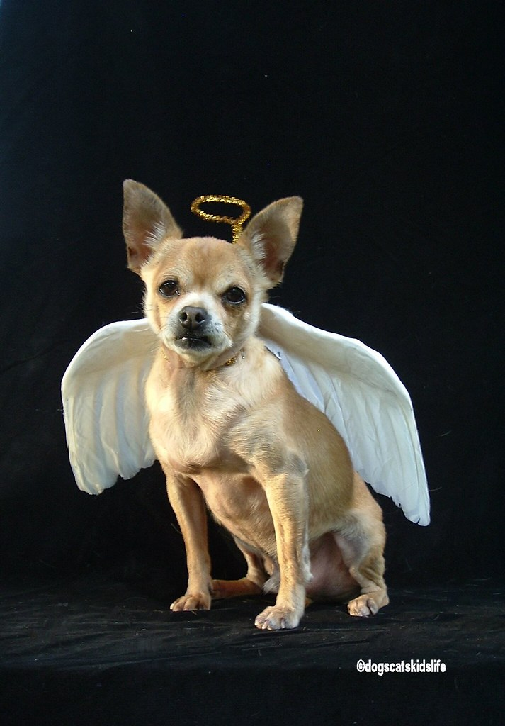 timmy the chihuahua is a christmas angel