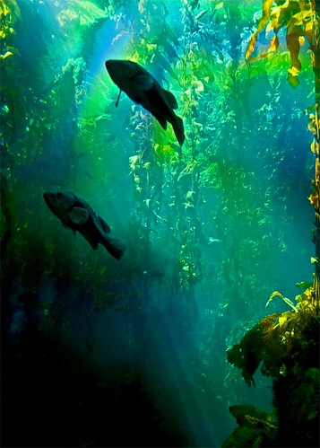 The Kelp Forest in Sunlight | by musicmuse_ca