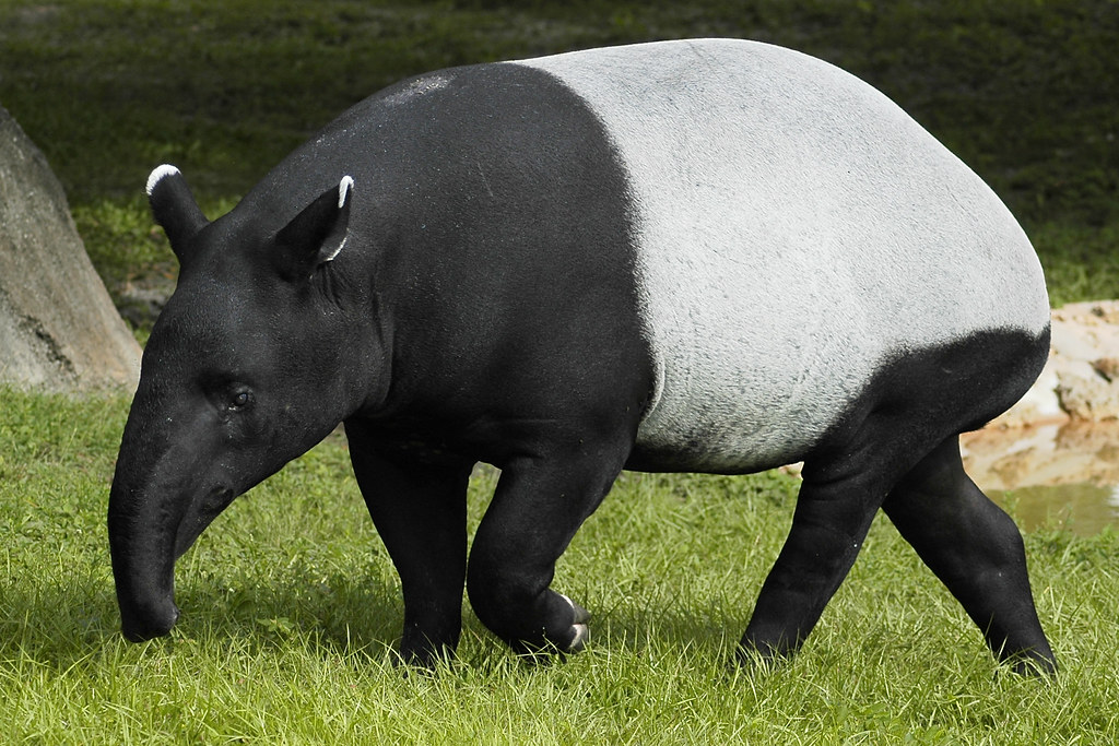 Image result for malayan tapir