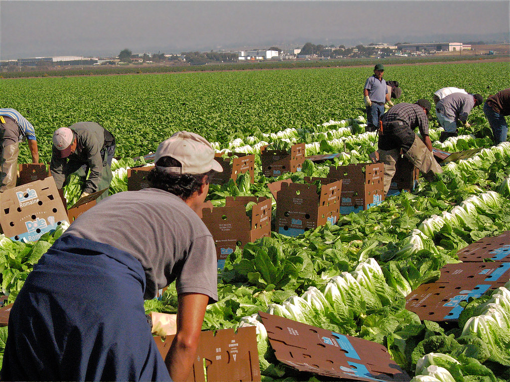Boxing Lettuce For Your Table Salinas Fields Salinas