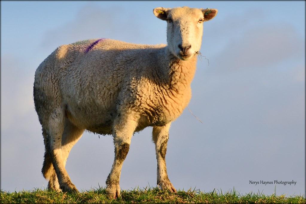 feeling sheepish nerys haynes flickr