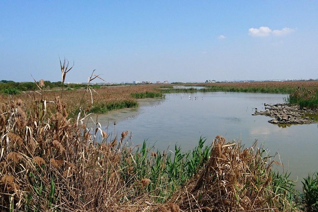 1-4道路預定切過茄萣濕地,近年每年有超過200隻黑面琵鷺來次度冬,占全球總數5%。攝影:李育琴