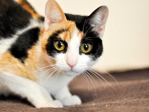Ishtar, gatita tricolor Calicó súper cariñosa y juguetona esterilizada, nacida en Julio´17, en adopción. Valencia. 40812945031_6540904c56