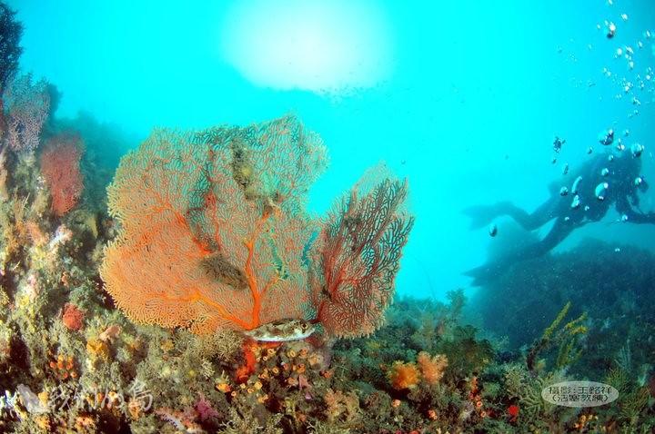 946-3-28潛水教練王銘祥紀錄到番仔澳灣水下漂亮的珊瑚礁區。照片提供 王銘祥。