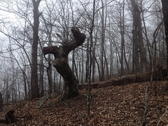Gnarly Tree on Ball Mountain Ridge