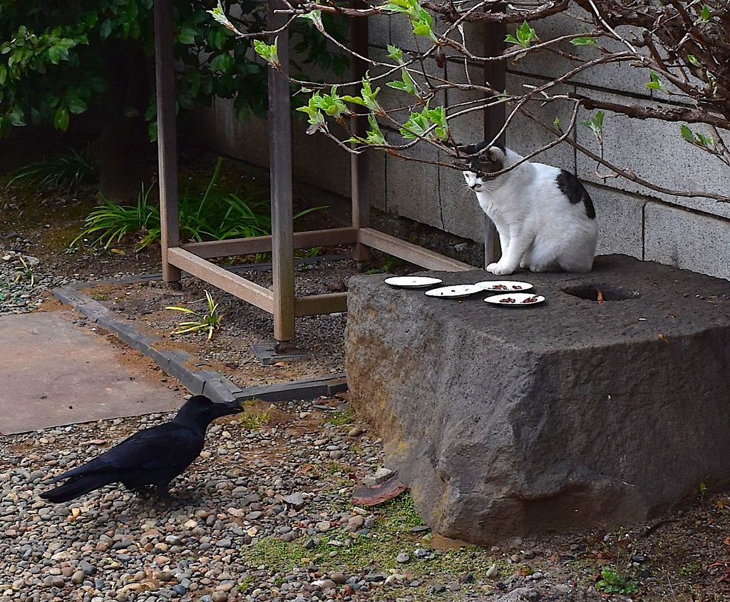 crow vs cat at japanese buddhist temple japanese crows are flickr