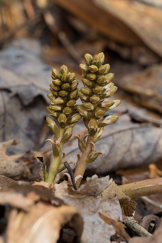 Pachysandra procumbens in bud