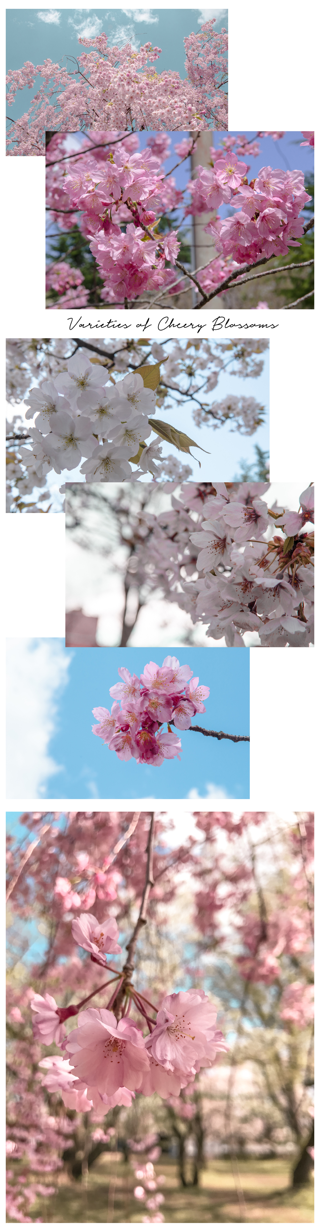 hirosaki-cherry blossoms