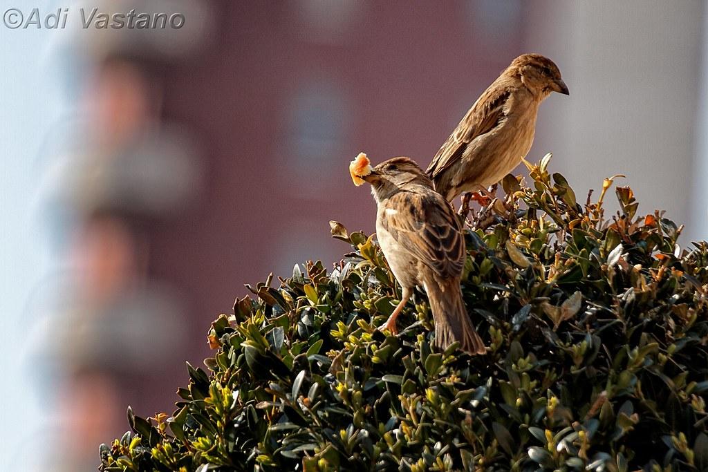 Uccellini