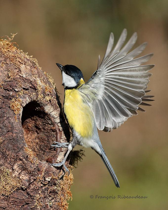 M sange charbonniere plus d 39 oiseaux en vol fran ois ribeaudeau flickr - Jeux d oiseau qui vole ...