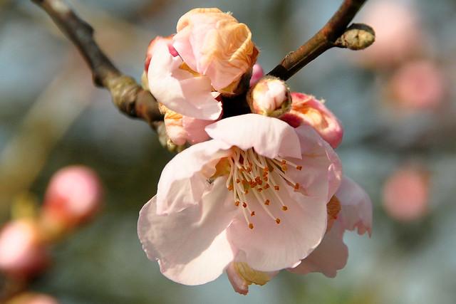 25.03.2018 ... Frühlingsspaziergang in Mannheim-Seckenheim ... Blühende Mandelbäume ... Fotos: Brigitte Stolle