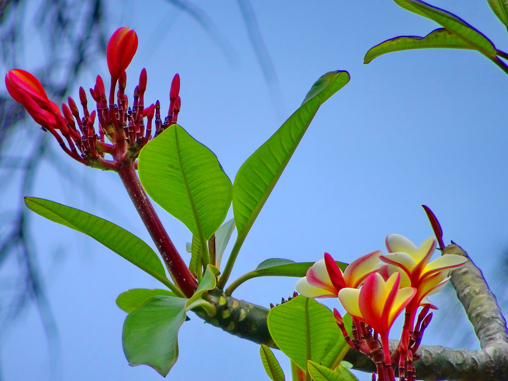 Sunday greetings exotic hawaiian plumeria flowers 2 flickr sunday greetings exotic hawaiian plumeria flowers 2 by peggyhr izmirmasajfo