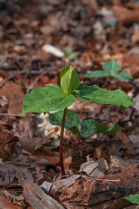 Trillium cuneatum -- green form