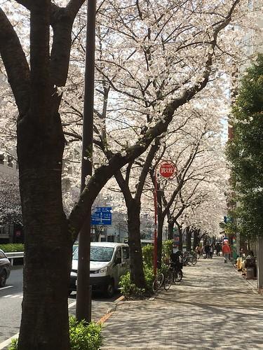 2018.3.24 桜 明治通り恵比寿近辺