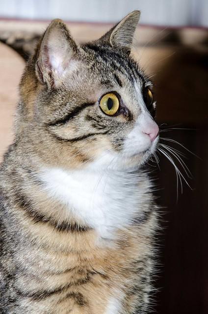 Efrén, gatito blanquipardo súper dulce positivo a inmuno nacido en Septiembre´17, en ADOPCIÓN ESPECIAL. Valencia. 40308212244_f4b2532118_z