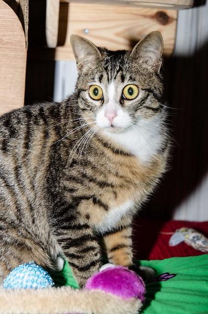 Efrén, gatito blanquipardo súper dulce positivo a inmuno nacido en Septiembre´17, en ADOPCIÓN ESPECIAL. Valencia. 41017359541_9dd42fea22_z