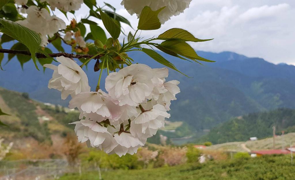 藍天…白雲…粉粉櫻花…