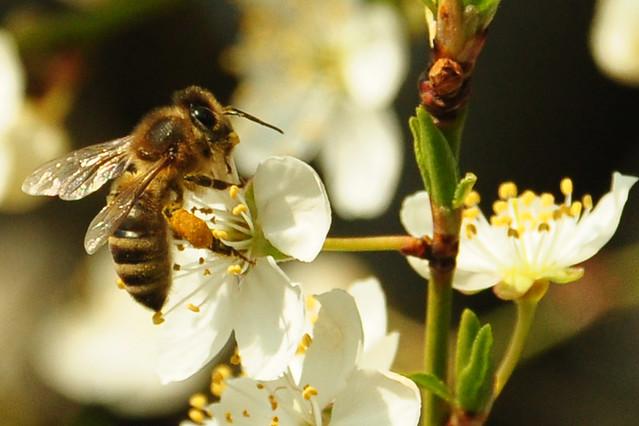 25.03.2018 ... Frühlingsspaziergang in Mannheim-Seckenheim ... Blühender Weißdorn mit Biene ... Fotos: Brigitte Stolle