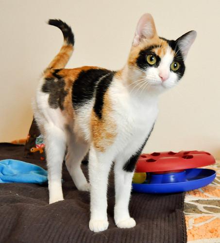 Ishtar, gatita tricolor Calicó súper cariñosa y juguetona esterilizada, nacida en Julio´17, en adopción. Valencia. 40812940861_dea9856ba6