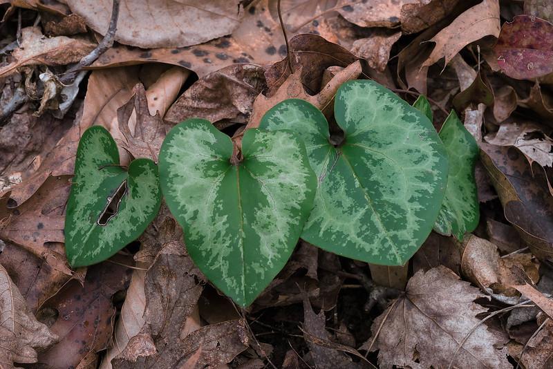 Little Heartleaf leaves