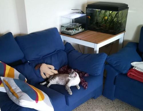 Mambo, gato siamés tabby extrovertido y bueno esterilizado, nacido en Febrero´17, en adopción. Valencia. ADOPTADO. 39175605260_6653496aef
