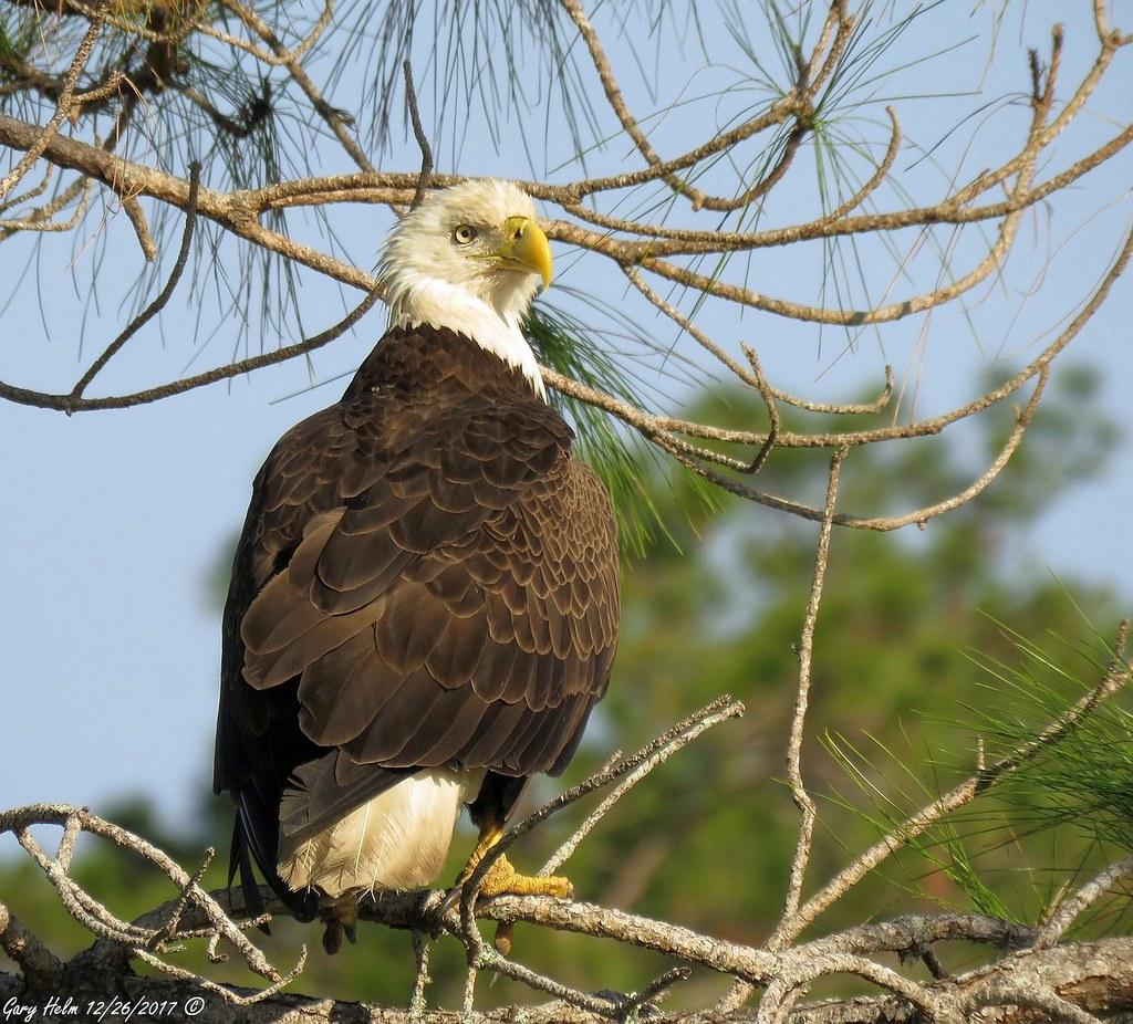 Majestic Symbol Of Freedom The Bald Eagle Haliaeetus Le Flickr