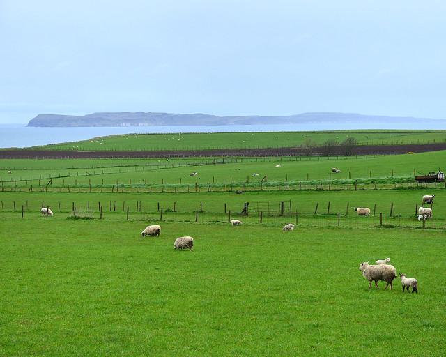 Típica pradera de ovejitas del norte de Irlanda