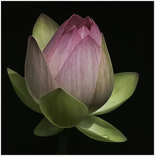 34 - Lotus Bud by Barbara Dunn | by Nature Camera Club